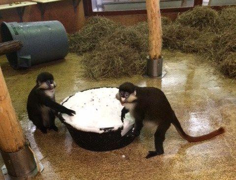 Schmidt's red-tailed monkeys washington national zoo via zoo twitter account