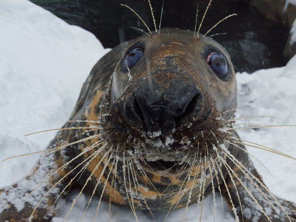gray seal selkie washington national zoo via zoo twitter account