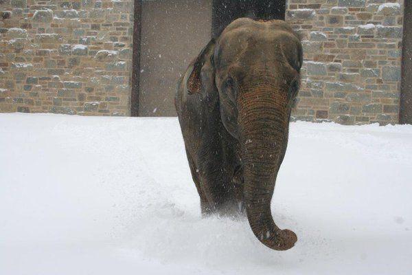 kamala elephant washington national zoo via zoo twitter account