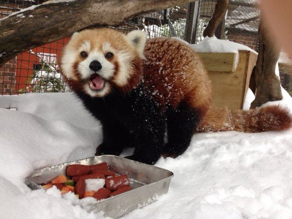 red panda washington national zoo via zoo twitter account