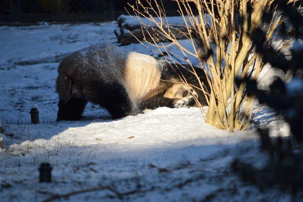 tian tian giant panda washington national zoo via zoo twitter account