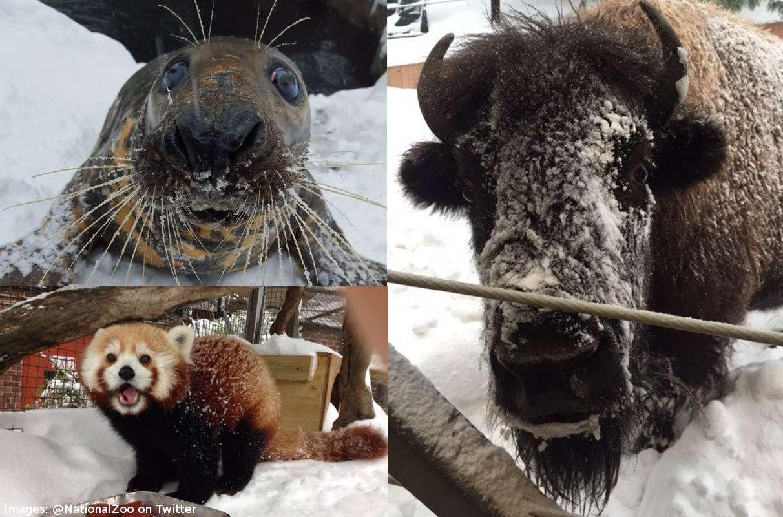 washington national zoo in snowvia zoo twitter account