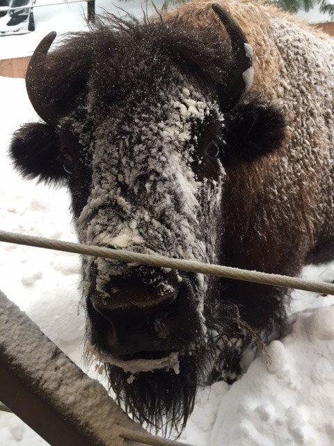 wilma bison washington national zoo via zoo twitter account